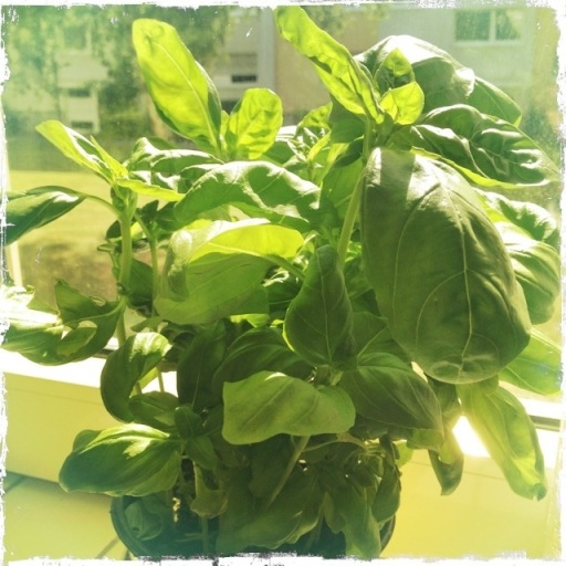 Herbs, basil, kitchen herbs