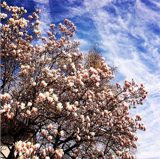 Magnolia tree along our street