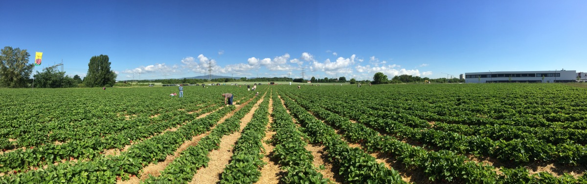 Strawberry Picking in Frankfurt